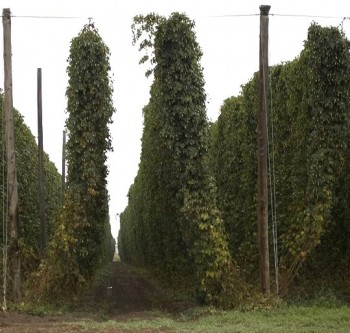 Hops, just outside of Moxee, WA. Yakima County and neighboring Benton County produce 25% of the world's hops.