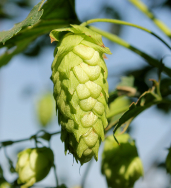 Picture of a hop cone.