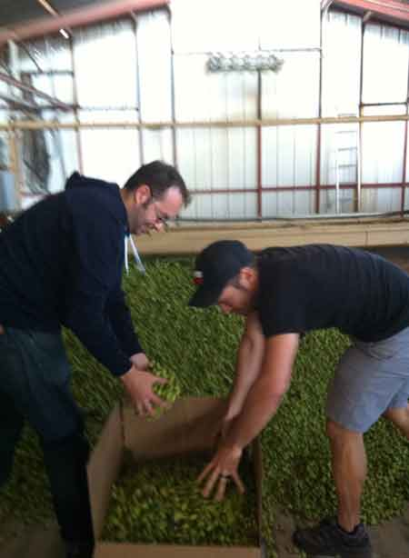 Adam Robbings and friend Conrad Hermosillo (right) gather the 42 pounds of fresh hops for Reuben's Brews. Because they can.