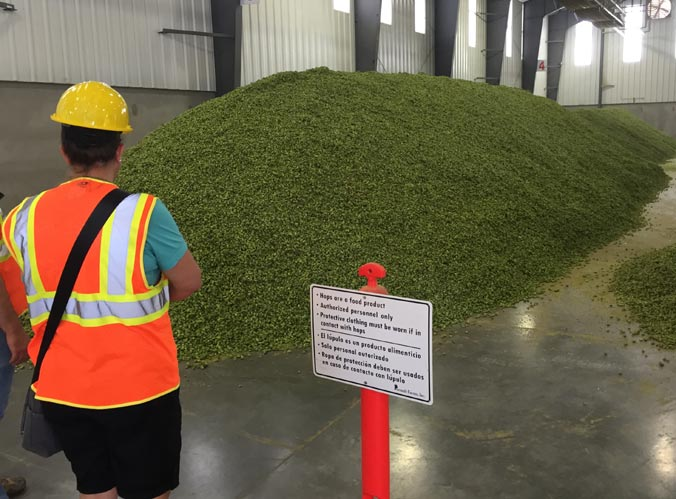 A mountain of freshly harvested hops at Perrault Farms in Toppenish, WA.