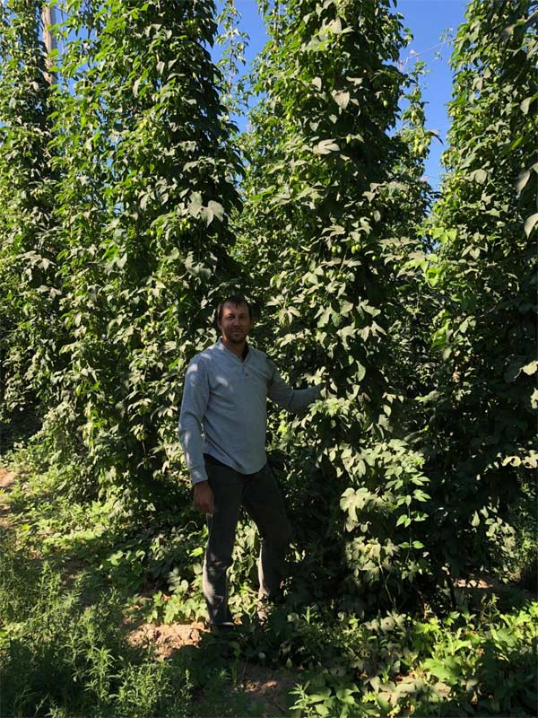 Joel Vandenbrink, brewmaster at Two Beers Brewing, standing among the hops.