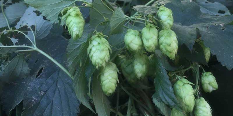 fresh-hops-800-450
