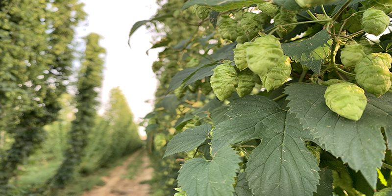 2019-hops-on-the-vine