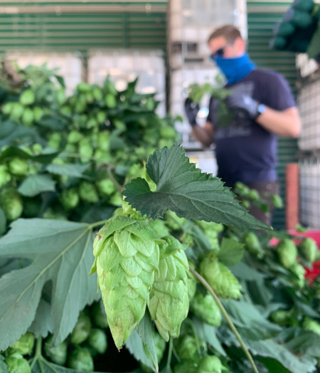 hop cone, freshly picked at Two Beers Brewing