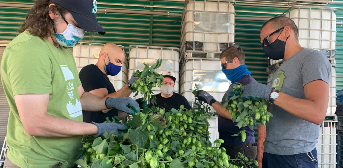 The brew crew hand picking the hops.