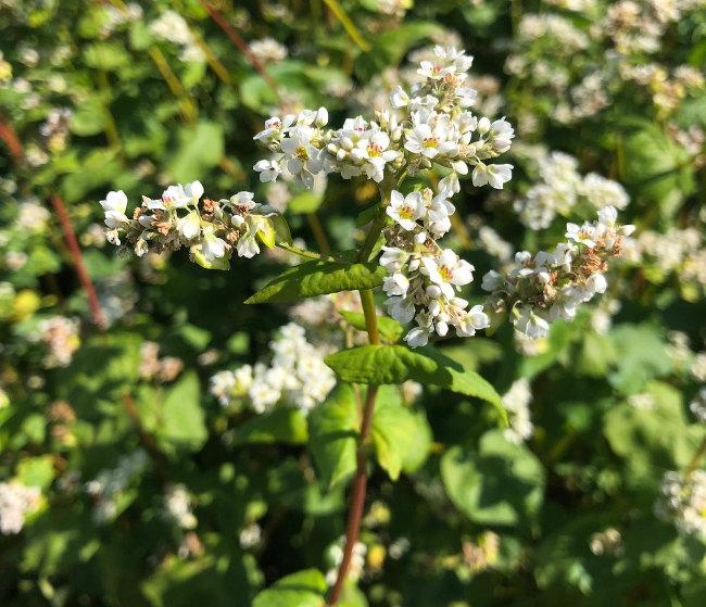 Buckwheat-01