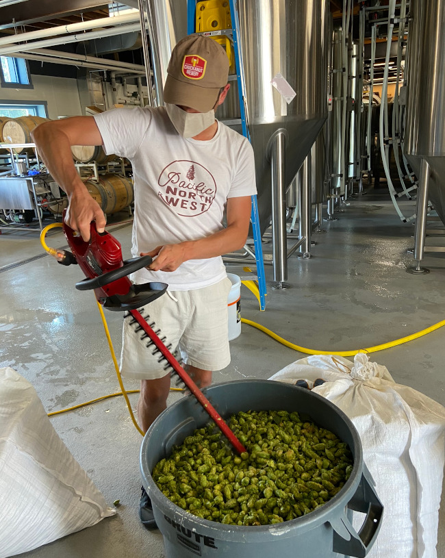Prepping the hops with a hedge trimmer.